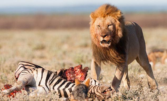 摄影师拍摄到的一只凶狠的雄狮进食的罕见场面,画面很是暴力,这才叫超级猛兽啊,请慎点。