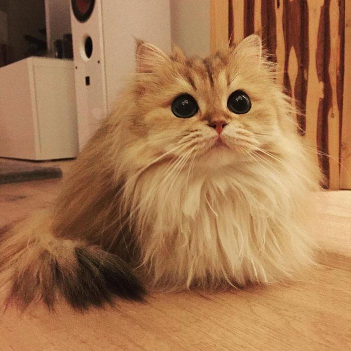 【萌宠】 爷爱怀旧 一只在互联网拥有几十万粉丝的英国长毛猫 Smoothie 是不是很漂亮呢 微博@爷爱怀旧 爷爱怀旧