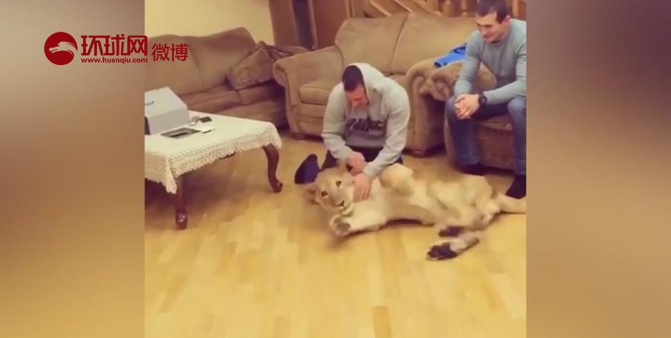 据英国《镜报》报道,俄罗斯职业摔跤手萨利姆收养了一只母狮子做自己的陪练,与它一起练习摔跤动作。为了保障自己的安全,萨利姆除去了狮子的利爪。兽医爱德华•梅森建议萨利姆将狮子送到附近的动物园里饲养。