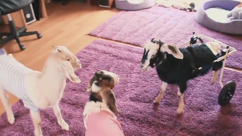 有趣的短视频 ZoominTV 重新奔跑的喜羊羊~