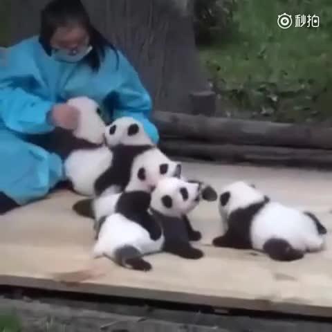 真可爱,是不是我们看到的小熊猫