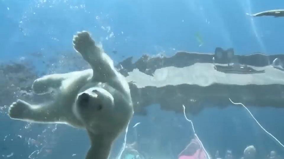 【现场】 有趣的短视频 ZoominTV 敲可爱!这里有只能萌化你北极熊baby