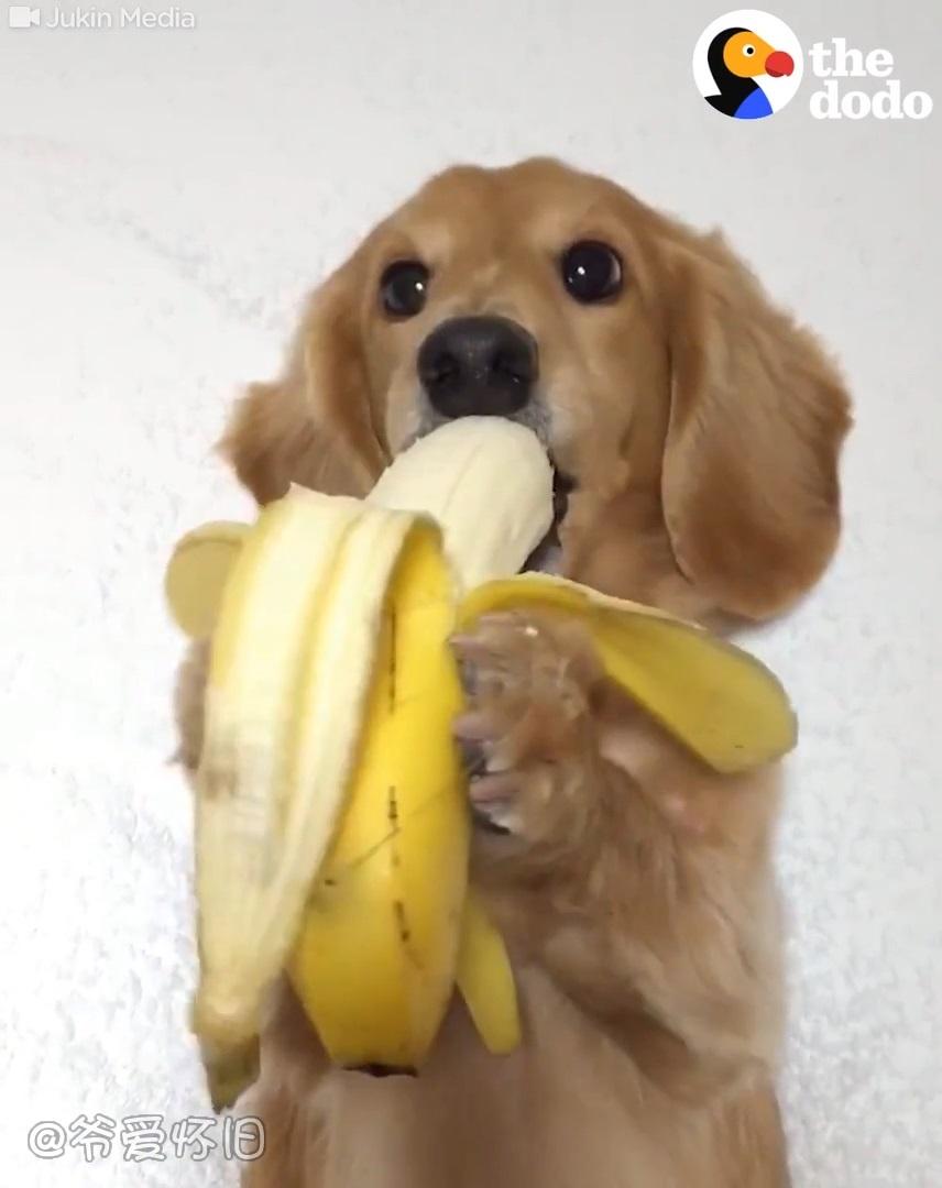 爷爱怀旧 一只爱吃香蕉的狗狗