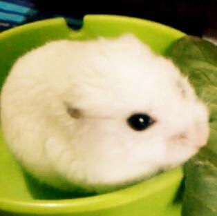 > 家有萌宠  这不是小白兔,是俺家可爱的小仓鼠皮皮,喜欢吗?
