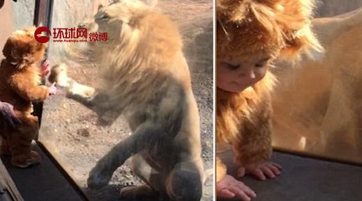宝宝穿了一身狮子服在动物园和狮子互动