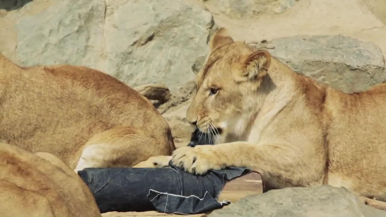 爷爱怀旧 YouTube每日视频精选 由动物园猛兽设计的牛仔裤 全世界独一无二 收入所得将用于改善园内动物的生活环境 微博@爷爱怀旧 爷爱怀旧