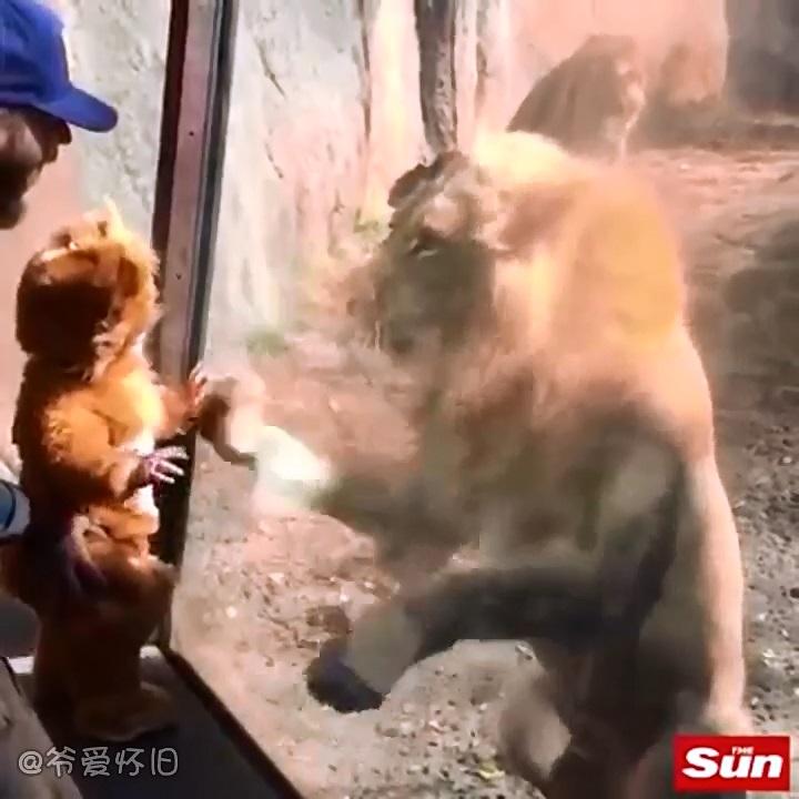【创意】 爷爱怀旧 当身穿狮子连体服的宝宝遇见真狮子会怎样
