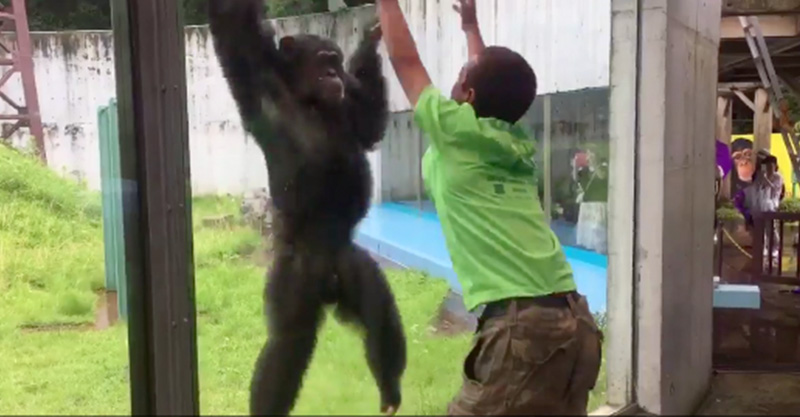 爷爱怀旧 YouTube每日视频精选 日本一家动物园的猩猩模仿游客跳跃 玩得好开心 微博@爷爱怀旧 爷爱怀旧
