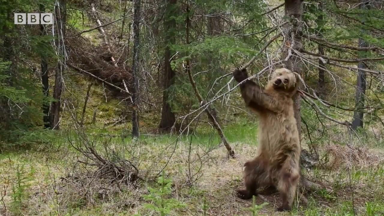 爷爱怀旧 行星地球第二季 灰熊蹭痒痒的镜头被BBC的剪辑师做成了扭扭舞视频 微博@爷爱怀旧 爷爱怀旧